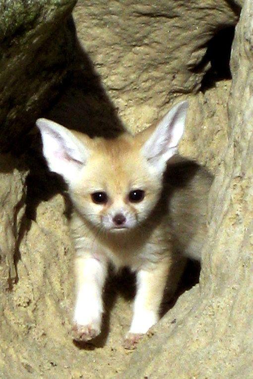 bébés animaux | animaux : un bébé fennec - Photos d'animaux : 100 bébés animaux ...