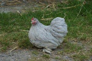 poule pondeuse - poule  bantam de pékin grise