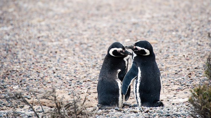 A couple of Magellanic penguins - A couple of Magellanic penguins at Punta Tombo - Patagonia
