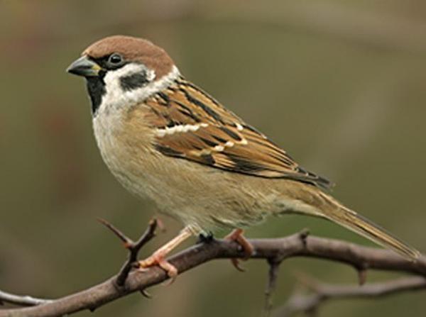 http://memelihara.com/burung-gereja.html