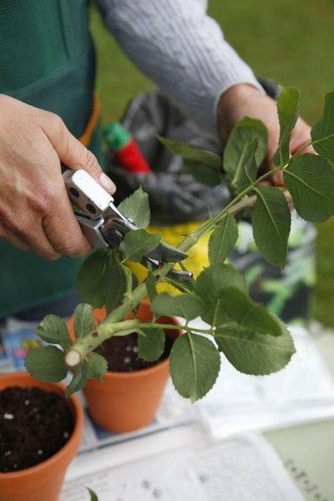 Rosen vermehren: So leicht geht's