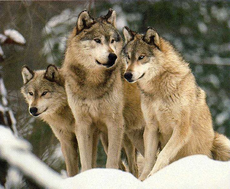 340 best beautiful wolf pics images on pinterest wild animals fox and wild dogs. Black Bedroom Furniture Sets. Home Design Ideas