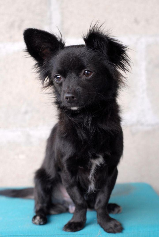 Adopt Angelo On Black Chihuahua Papillon Dog Pomchi Puppies