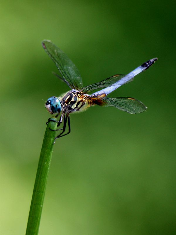 Blue Dragonfly on Chinese Water Chestnut.    SE Texas.  Pond Plant Girl Water Gardens