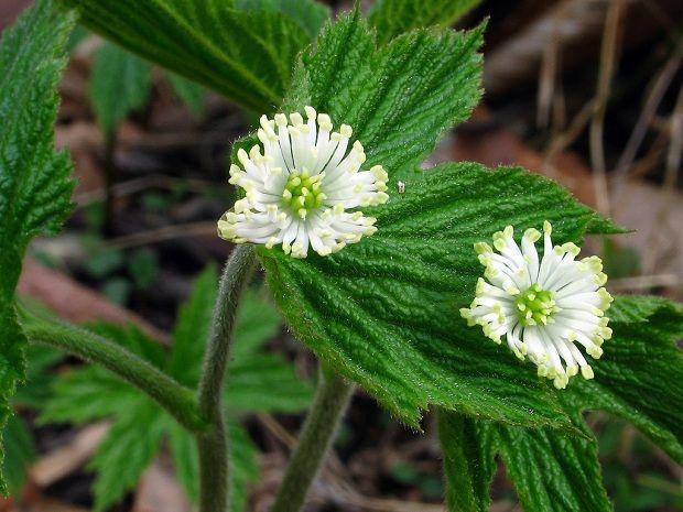 Zatürree Tedavisine Destek: ALTINMÜHÜR    Altınmühür (Hydrastis canadensis): Amerikan Kızılderilileri her türlü enfeksiyonun tedavisinde altınmühür kullanıyorlardı.    Altınmühürü beyaz yerleşimciler de benimsedi çünkü işe yarıyordu. Yapılan araştırmalarda, altınmühür hidrastin ve berberin adlı iki geniş spektrumlu anti-mikrobiyal madde içerdiği anlaşılmıştır.