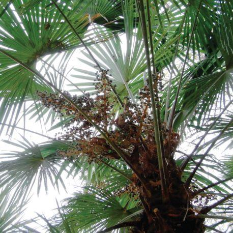 Palmier CHAMAEROPS excelsa mono tronc