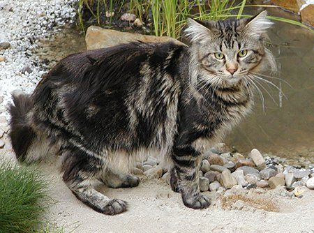 Maine Coon: The Maine, Maine Coon Cats, Adorable Cat, Pet, Large Maine Coon Cat, Cat Hq, Maine Coon Kittens, Cat Facts, Mainecoon