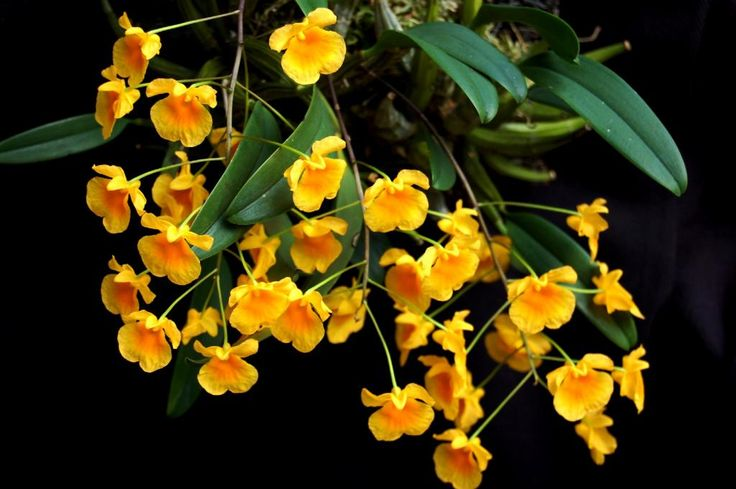 orchid research papers Read this essay on orchid view come browse our large digital warehouse of free sample essays get the knowledge you need in order to pass your classes and more only.