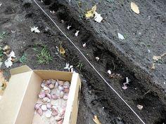 Как посадить чеснок весной?  Каждый дачник знает, что озимый чеснок сажают осенью, но мало кто догадывается, что его еще можно сажать и весной! Для этого их просто необходимо правильно подготовить. Фото: © arrowlakelass