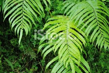 Native New Zealand 'Kiokio' Fern Royalty Free Stock Photo
