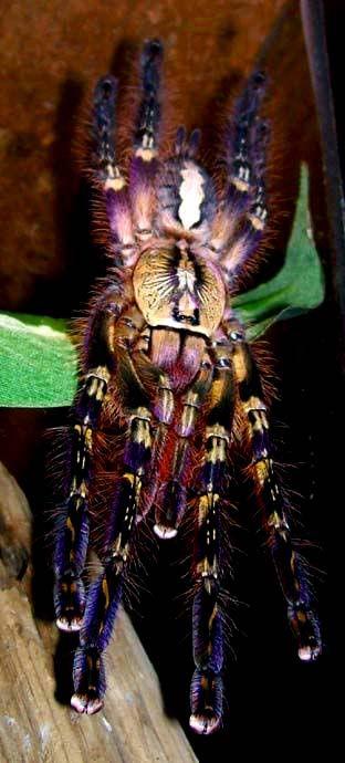 adorablespiders:  Poecilotheria ornata, Fringed Ornamental tarantula image source