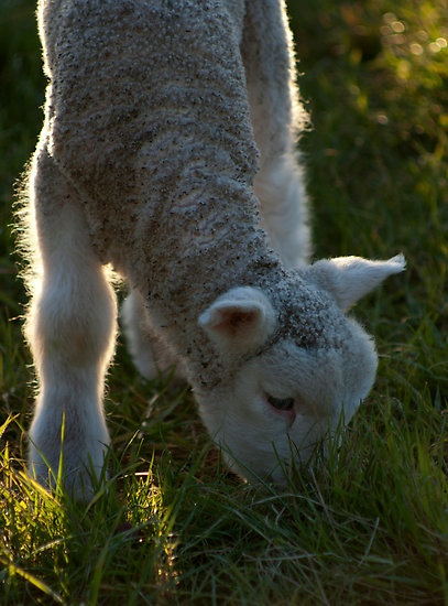 Untitled- Lamb Grazing by claire-virgona