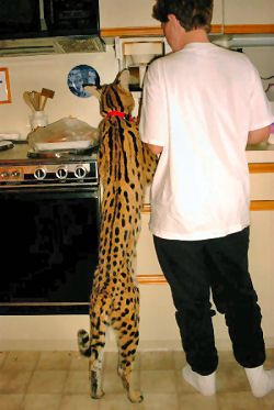 Dear Santa, can I have one of these please? It's a Serval Savannah, the biggest domestic cat in the world.