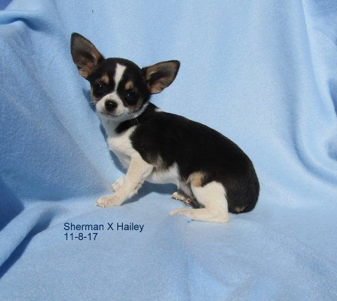Chihuahua Puppies For Sale Pahrump Nv Chihuahua Puppies For Sale Puppies For Sale Chihuahua Puppies