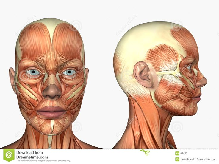 Lateral Side Facial Face Muscles Stock Photo - Image: 48360396