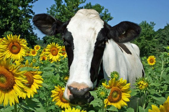Maggie the Holstein Cow in the Sunflowers by MistyMornPhotography, $22.00