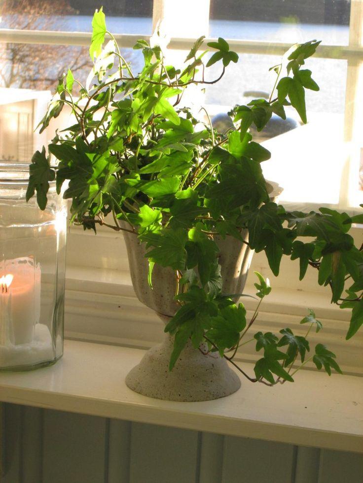 Gjør det ekstra hyggelig innendørs i mørketida med inneplanter som alpefiol, erica, eføy og duftranke.