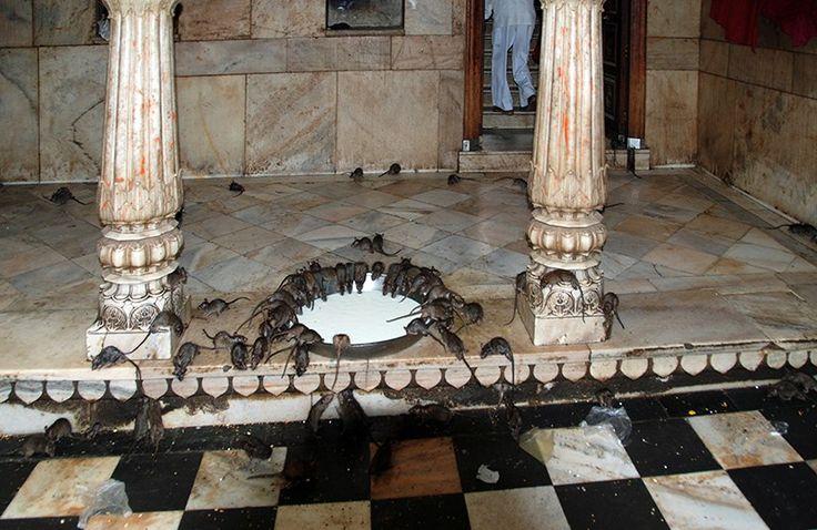 Un tempio dedicato ai topi l'avete mai visto? Incredibile India: il tempio dei topi di Deshnoke nel Rajastan -
