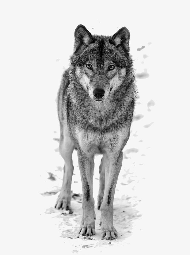 Wolf Wolf Clipart White Wolf Great White Wolf Png And Vector With Transparent Background For Free Download Grey Wolf Photography Wolf Images Wolf Photography