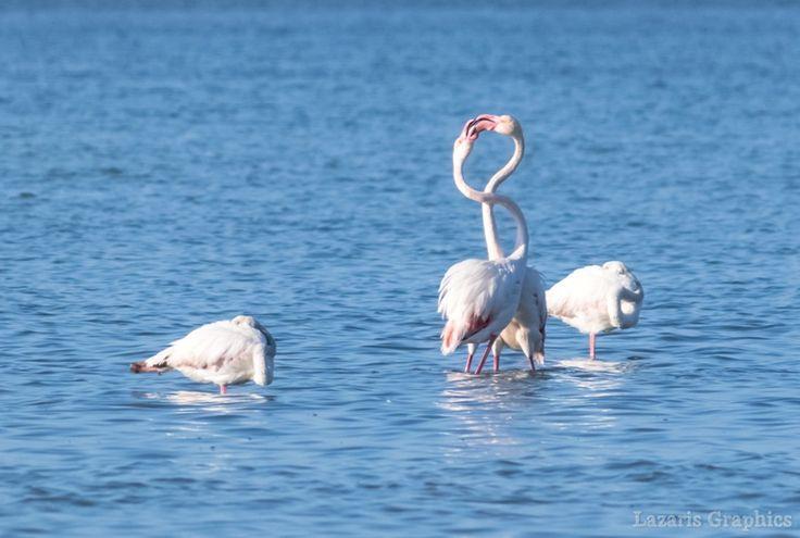 08/03/2017. Flamingos ερωτοτροπούν στη λιμνοθάλασσα.
