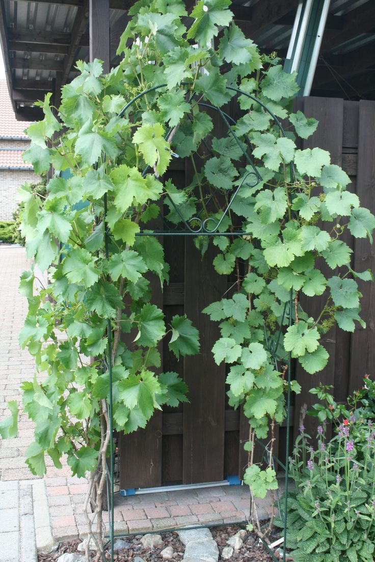 39 besten Garten - Weintrauben pflanzen Bilder auf Pinterest ...
