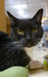 Asiago is an adoptable Domestic Short Hair-Black And White Cat in Grayslake, IL. Upside down world, you bet! After all, I wish I could tell you how I ended up lost because I just soak any human attent...
