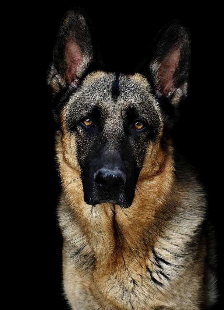 german shepherd facial paralysis