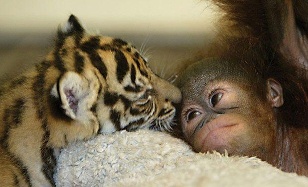 Tigre-de-sumatra e bebê orangotango, amigos! :-)