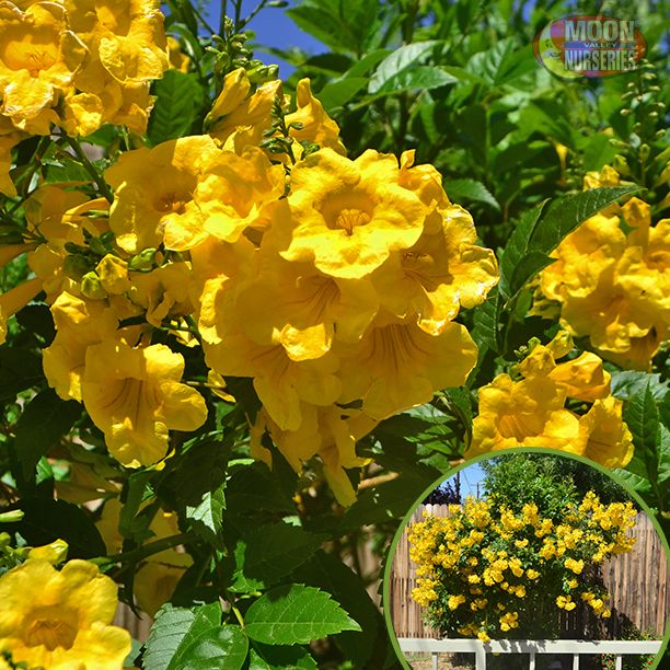 Commonly called Yellow Bells, this popular shrub can reach 8 ft tall and wide. One of the most colorful plants in our area, Yellow Bells put on a riot of bright yellow flowers starting mid-spring all the way to the first frost of winter. Great for Arizona, Las Vegas, and Southern California
