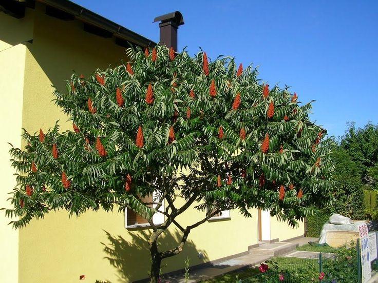 Сумах — эффектное и яркое уксусное дерево. Уход, выращивание, размножение. Фото - Ботаничка.ru