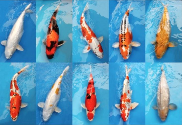10 images about koi fish on pinterest japanese koi for Japanese koi centre