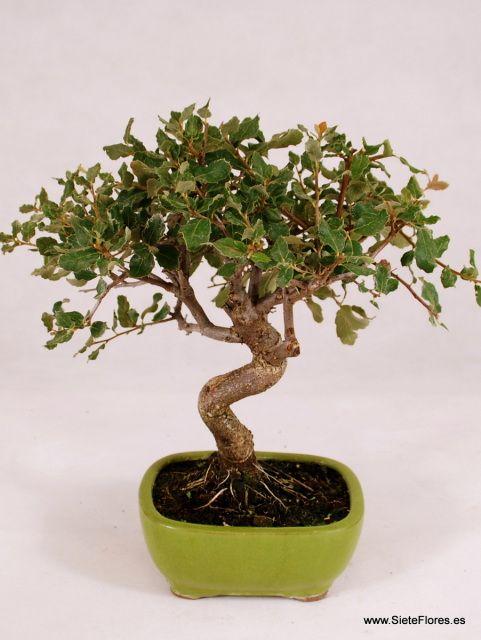 Venta Online de bonsáis en Zaragoza. Bonsái Alcornoque