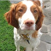 Stormy:: American Brittany Rescue