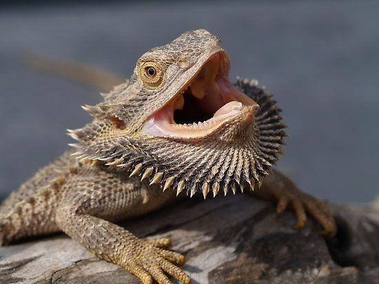 Common Behavior Exhibited by Bearded Dragons #beardeddragon