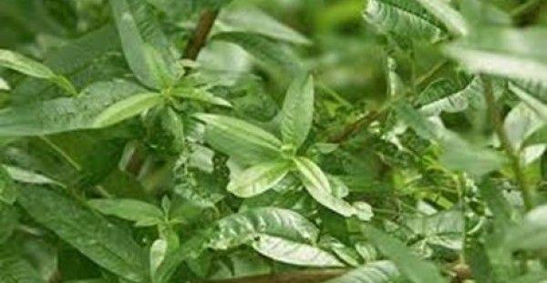 Υγεία - Έχει πανέμορφα μικρά άνθη σε λευκό, μοβ ή πράσινο χρώμα και υπέροχο άρωμα που θυμίζει λεμόνι. Ο λόγος για τη λουίζα, ένα βότανο με ποικίλες φαρμακευτικές ι
