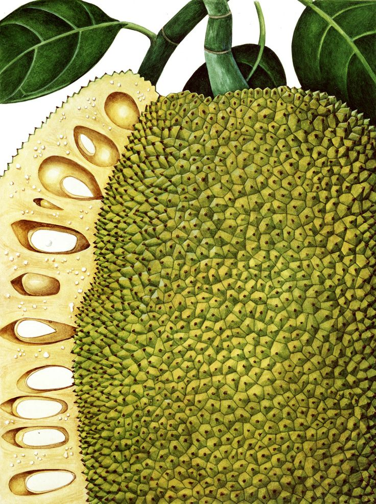 Charlotte Knox:  Jack, Botanical Prints, Art Botanical, Botanical Illustrations, Denver Colorado, Jack Fruit, Illustrations Workshop, Botanical Art, Botanical Gardens