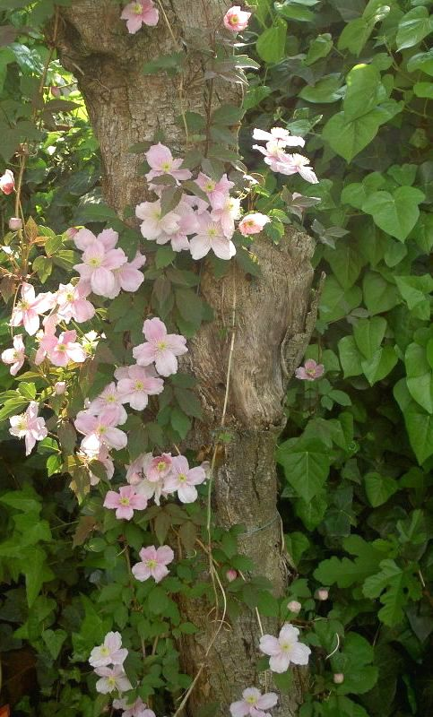 Clematis montana  Flowers late spring to early summer  Blooms on previous season's growth so prune after flowering  Sun to partial shade; shade for roots  Zones 6, 7, 8