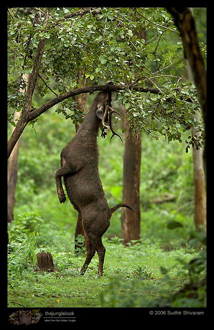 The Sambar (Cervus unicolor) is a large deer native to the Indian Subcontinent and Southeast Asia