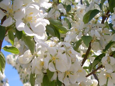 Crabapple - Spring Snow   A semi weeping rounded tree with pink buds that open to white flowers...