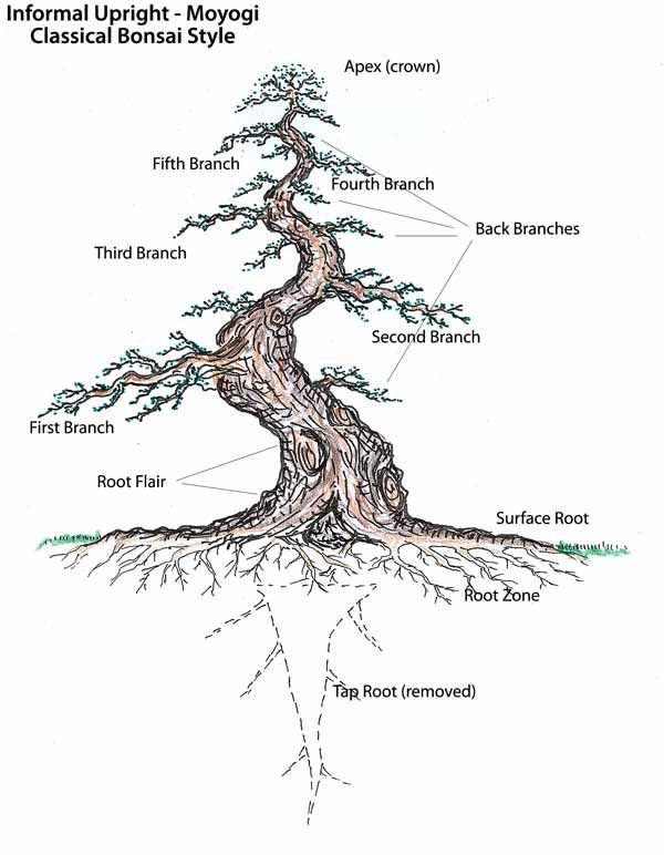 To start an Informal Upright Bonsai quickly & well, find a plant with a trunk thickness and shape you appreciate. You will get the taper & zig zag shape by choosing the proper branch to make as the new top. Cut off the tree above that branch. If it has a branch off of it back the other way use that as the very top and wire and prune accordingly. What I am describing will take you to the 3rd branch level in this picture. It will continue to grow & be styled until you end up with one like…