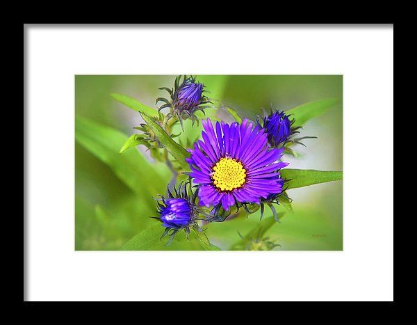 Purple Aster Flowers Framed Print By Christina Rollo In 2020 Flower Frame Aster Flower Flowers