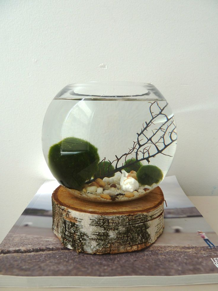 This tiny Marimo moss aquariums are my new obsession! So cute with the log base