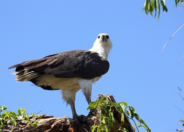 Sea Eagle (Mary River - Northern Territory)
