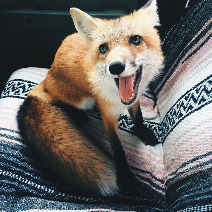 We first met Juniper on Instagram, where we saw her frolicking on her mom's bed, and instantly fell in love. Who was this cute fox? So we decided to reach out to her owner, who gave us the full scoop!