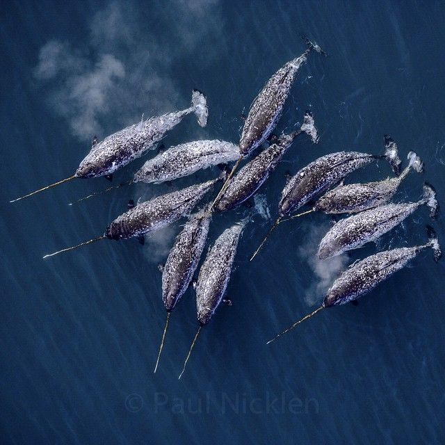 "This shot of narwhals by Paul Nicklen. ""One of the most unique, special and elusive species I have ever had the pleasure of photographing is the Narwhal. The tusk just happens to grow out of a 16 foot long whale that lives in the Arctic ocean. With my friend and fellow pilot, Brian Knutsen we were able to find hundreds of these whales living way offshore in the drifting pack ice."""