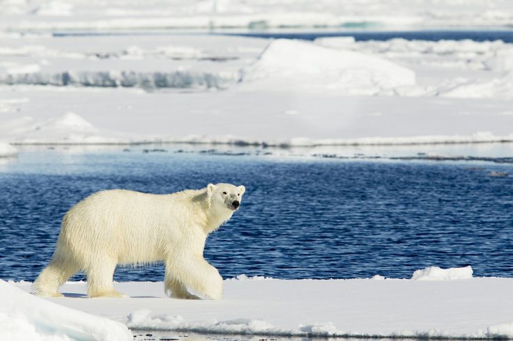 Synonymous with the Svalbard archipelago is the polar bear and approximately 3000 individuals live here. These large white mammals spend more time on the ice than on the mainland and as such are predominantly spotted from a boat during the summer months.  #Svalbard #sunvil #travel #polarbears