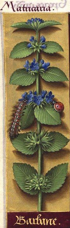 Barbane - Matricaria (Labiée à fleurs bleues mal dessinées -- Jussieu propose le genre Ballota pour l'identification) -- Grandes Heures d'Anne de Bretagne, BNF, Ms Latin 9474, 1503-1508, f°126v