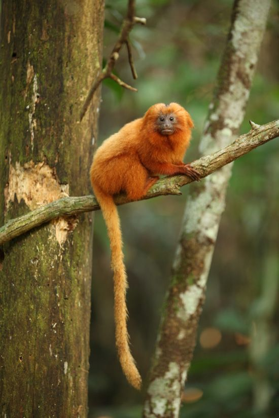 Wildlife Wednesdays: Disney Efforts Help to Protect the Golden Lion Tamarin's Forest Home