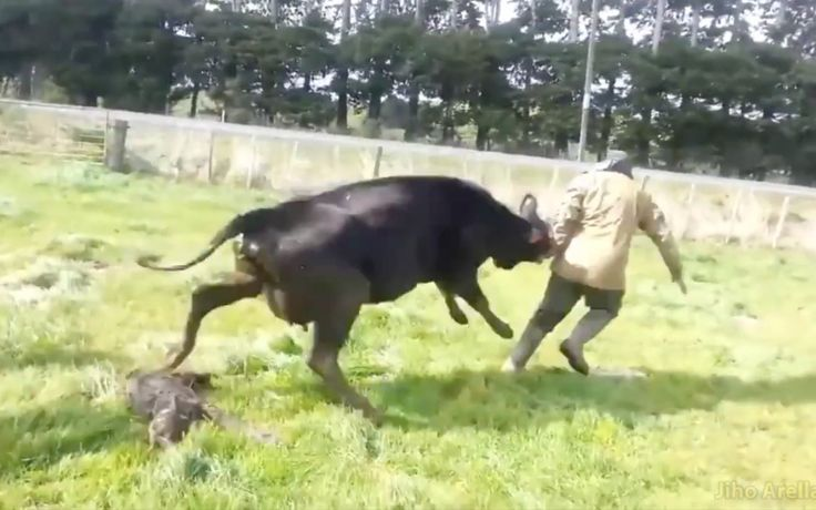 When we came across the above video of a grieving mother cow doing everything in her power to help keep her friend's baby away from dairy farmers, we were absolutely heartbroken.