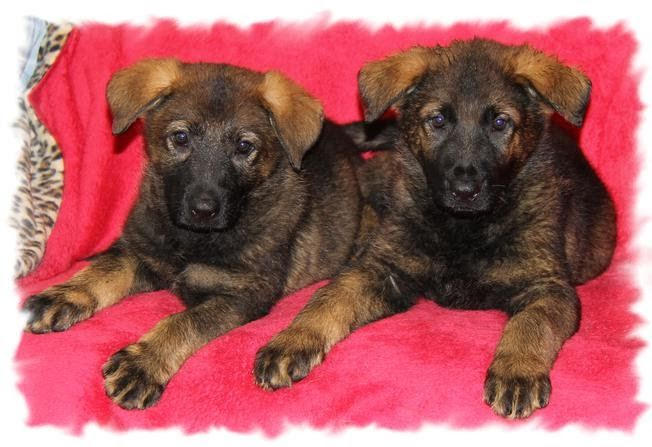 Linda S Pups Family Raised Dachshunds German Shepherds Miniature